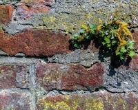 Mauerbluemchen IMG_5721